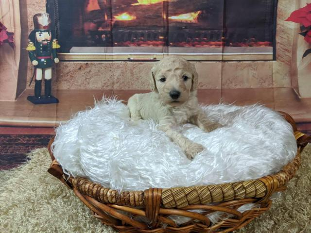 Standard Poodles W Akc Registration In Baltimore Maryland Puppies For Sale Near Me