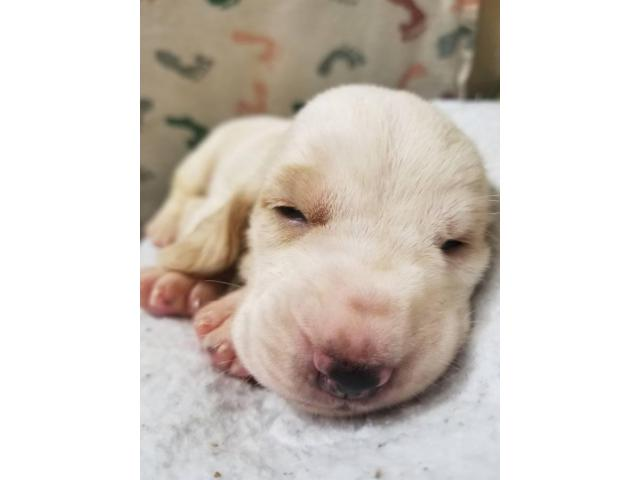 6 Basset Hound Puppies For Rehoming In Abilene Texas Puppies For Sale Near Me