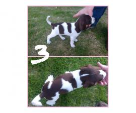 8 weeks old Springer Spaniels