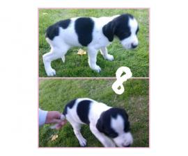 8 Weeks Old Springer Spaniels In Phoenix Arizona Puppies For Sale Near Me