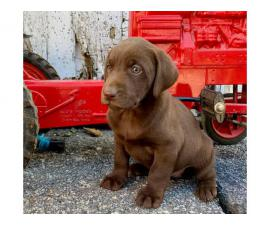 Chocolate Lab puppies Males and Females AKC registered