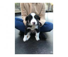 Nine (9) Border Collie puppies Available