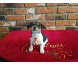 2 months old Jack Russell Terrier Puppies
