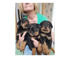 X-Mas Rottweiler Puppies