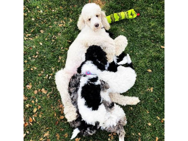 Nine Week Old Black And White Males Standard Poodles In Boulder Colorado Puppies For Sale Near Me