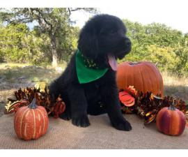 Adorable Newfoundland Puppies from Champion show bloodline