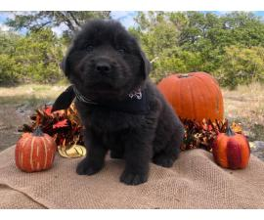 AdorableNewfoundland Puppies from Champion show bloodline