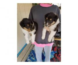 Akc's rough collie puppies for sale