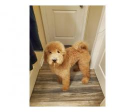 Rehoming 10 month old golden doodle puppy