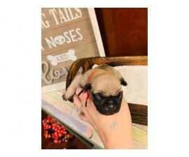 Adorable Pug Puppies Just in time for Christmas