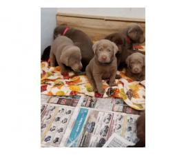 Lovely chocolate and silver AKC Lab puppies