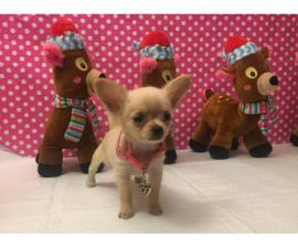 Longhaired Chihuahua female puppy