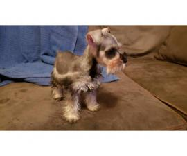 Salt and Pepper Mini Schnauzer puppies for sale