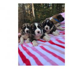 St. Bernard puppies available