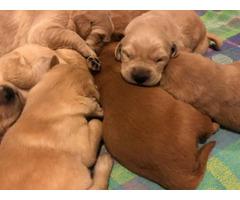 7 gorgeous goldenretriever purebred puppies