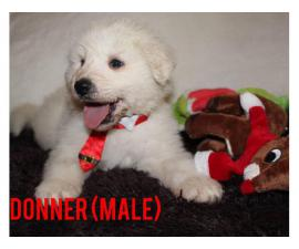 Four Amazing Great Pyrenees puppies