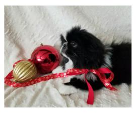 Pekingese black & white male puppy