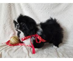 Pekingese black & white male puppy