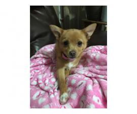 5 months old little Pomchi Puppy to be rehomed