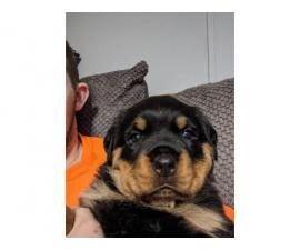 AKC Rottweiler puppy up for adoption