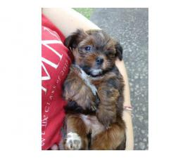 Pretty Shorkie puppies for adoption