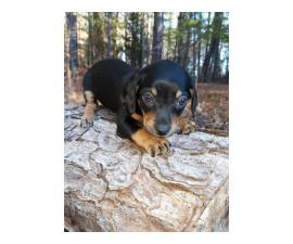 Male and female Chiweenie puppies are available
