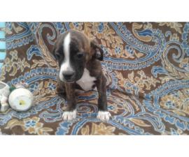 11 weeks old Boglen Terrier puppies for sale