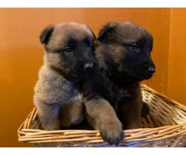 Malinois puppies ready to go