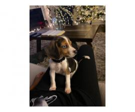 9 week old male beagle puppy