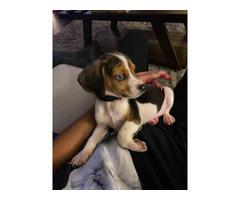 9 week old male beagle puppy