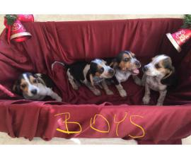 Adorable purebred Christmas beagle puppies for sale