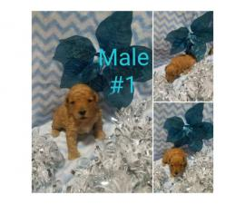 3 Poodle Puppies for sale