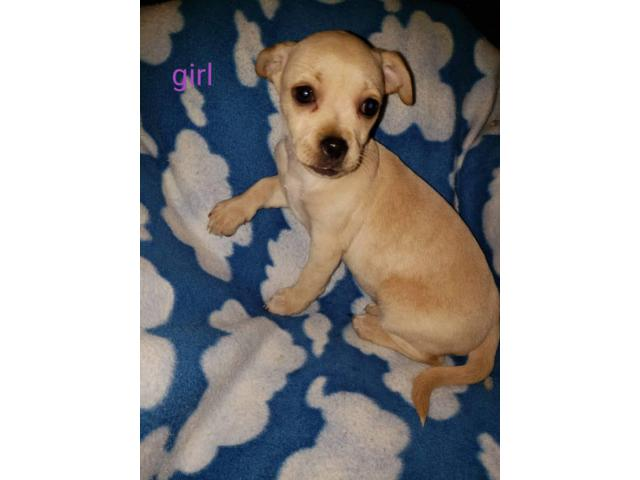 10 Weeks Old Greyhound Chihuahua Puppy Mix In Parkersburg West Virginia Puppies For Sale