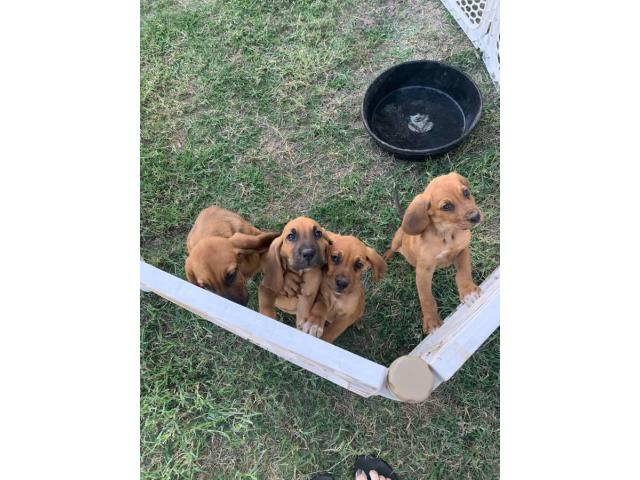 Full Blooded Bloodhound Puppies In San Antonio Texas Puppies For Sale Near Me