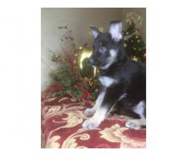 6 cute socialized AKC German Shepherds for sale