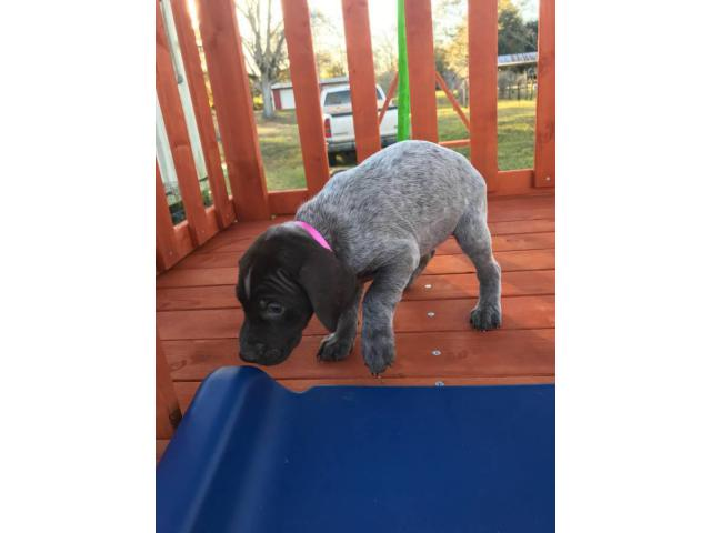 6 Boys And 3 Girls Akc Registered German Shorthair Pointer Puppies In Mobile Alabama Puppies