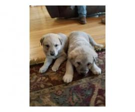 Anatolian Shepherd Puppies, girls and boys to choose from