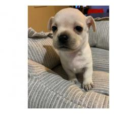 Apple Head Chihuahua Puppy for sale