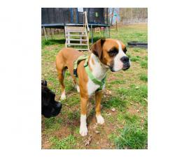 10 Boxer puppies up for sale