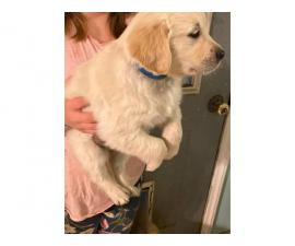 1 Male left AKC Golden retriever puppy