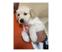 1 Male left AKC Golden retriever puppy