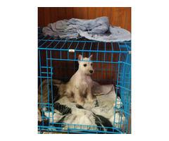White Female Mini schnauzer puppy need a new home