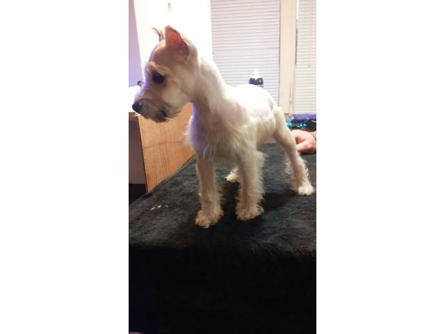 White Female Mini Schnauzer Puppy Need A New Home In Shreveport Louisiana Puppies For Sale
