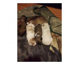 3 Shih-poo puppies ready just in time for Christmas