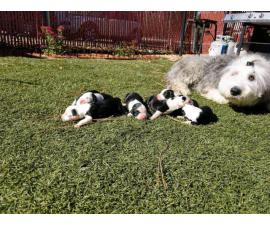 Full breed Old English Sheepdog puppies