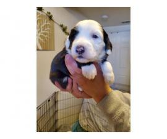 Full breed Old English Sheepdog puppies