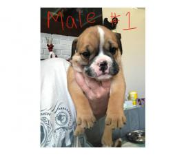 Six male English Bulldogs for Sale