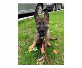 14 Weeks old Male German Shepard puppy for rehomin