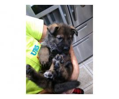 heathly germany shepherd puppies in Wickliffe KY