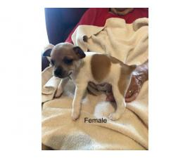 CKC registered Rat Terrier 1 male 1 female